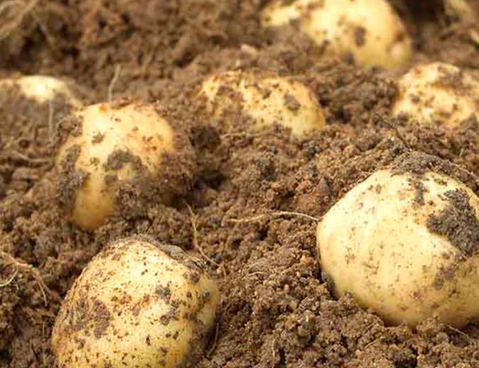 Patatas de la Sierra de Albarracín
