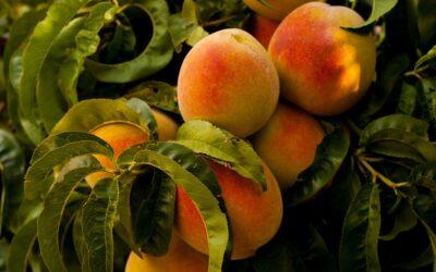 Es tiempo de melocotones. Disfruta de las propiedades de esta refrescante fruta de temporada